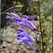"<p><strong>Scutellaria angustifolia - Narrow-leaved Skullcap</strong></p><p><strong>Light: </strong><img src=""http://champoegnursery.com/wp-content/uploads/2014/09/icon_full_sun.gif""/> / <img src=""http://champoegnursery.com/wp-content/uploads/2014/09/icon_partial_shade.gif""/></p><p> <strong>Water: <img src=""http://champoegnursery.com/wp-content/uploads/2014/09/icon_dry.gif""/></p> <p> Max Height: </strong> 12  in. <strong> Max Width: </strong> 12  in. </p><p><strong>Description: </strong>This herbaceous plant produces many purple flowers and is aggressive and fast spreading. <strong>Zone: </strong>  7-9</p><p>    </p>"