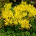 "<p><strong>Sedum oreganum - Oregon Stonecrop</strong></p><p><strong>Light: </strong><img src=""http://champoegnursery.com/wp-content/uploads/2014/09/icon_full_sun.gif""/> / <img src=""http://champoegnursery.com/wp-content/uploads/2014/09/icon_partial_shade.gif""/></p><p> <strong>Water: <img src=""http://champoegnursery.com/wp-content/uploads/2014/09/icon_dry.gif""/> / <img src=""http://champoegnursery.com/wp-content/uploads/2014/09/icon_moist.gif""/></p> <p> Max Height: </strong> 3  in. <strong> Max Width: </strong> 12  in. </p><p><strong>Description: </strong>Perennial succulent herbaceous ground cover.  Its flowers are yellow turning to pink with age.  It most often occurs on rock ledges. <strong>Zone: </strong>  7-9</p><p><img src=""http://champoegnursery.com/wp-content/uploads/2014/09/icon_butterfly.gif""/>    <img src=""http://champoegnursery.com/wp-content/uploads/2014/09/icon_wildlife.gif""/></p>"