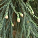 <p><strong>Sequoia sempervirens - Coast Redwood</strong></p>