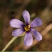 <p><strong>Sisyrinchium bellum - Blue-Eyed Grass</strong></p>