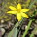 <p><strong>Sisyrinchium californicum - Yellow-Eyed Grass</strong></p>