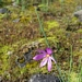 "<p><strong>Sisyrinchium douglasii - Grass-widow</strong></p><p><strong>Light: </strong><img src=""http://champoegnursery.com/wp-content/uploads/2014/09/icon_full_sun.gif""/> / <img src=""http://champoegnursery.com/wp-content/uploads/2014/09/icon_partial_shade.gif""/></p><p> <strong>Water: <img src=""http://champoegnursery.com/wp-content/uploads/2014/09/icon_dry.gif""/></p> <p> Max Height: </strong> 12  in. <strong> Max Width: </strong> 6  in. </p><p><strong>Description: </strong>This herbaceous perennial is also known as Olsynium douglasii.  It produces vibrant purple flowers and dark green foliage. <strong>Zone: </strong>  7-9</p><p><img src=""http://champoegnursery.com/wp-content/uploads/2014/09/icon_butterfly.gif""/>    </p>"