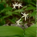<p><strong>Smilacina stellata - 'Star-flowered Solomon''s Seal'</strong></p>