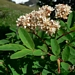 "<p><strong>Sorbus sitchensis - Mountain Ash</strong></p><p><strong>Light: </strong><img src=""http://champoegnursery.com/wp-content/uploads/2014/09/icon_full_sun.gif""/>  </p><p> <strong>Water: <img src=""http://champoegnursery.com/wp-content/uploads/2014/09/icon_moist.gif""/></p> <p> Max Height: </strong> 12 ft. <strong> Max Width: </strong> 10 ft. </p><p><strong>Description: </strong>A low growing multi-branched shrub with attractive white flowers and red to orange fall color. <strong>Zone: </strong>  5-7</p><p><img src=""http://champoegnursery.com/wp-content/uploads/2014/09/icon_butterfly.gif""/>    </p>"