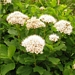 "<p><strong>Spiraea betulifolia - Birchleaf Spiraea</strong></p><p><strong>Light: </strong><img src=""http://champoegnursery.com/wp-content/uploads/2014/09/icon_full_sun.gif""/> / <img src=""http://champoegnursery.com/wp-content/uploads/2014/09/icon_partial_shade.gif""/></p><p> <strong>Water: <img src=""http://champoegnursery.com/wp-content/uploads/2014/09/icon_moist.gif""/></p> <p> Max Height: </strong> 3 ft. <strong> Max Width: </strong> 3 ft. </p><p><strong>Description: </strong>A low growing deciduous shrub with white to pink flowers and attractive fall foliage. <strong>Zone: </strong>  3-8</p><p><img src=""http://champoegnursery.com/wp-content/uploads/2014/09/icon_butterfly.gif""/>    <img src=""http://champoegnursery.com/wp-content/uploads/2014/09/icon_wildlife.gif""/></p>"