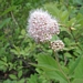 "<p><strong>Spiraea pyramidata - Pyramid Spirea</strong></p><p><strong>Light: </strong><img src=""http://champoegnursery.com/wp-content/uploads/2014/09/icon_full_sun.gif""/> / <img src=""http://champoegnursery.com/wp-content/uploads/2014/09/icon_partial_shade.gif""/></p><p> <strong>Water: <img src=""http://champoegnursery.com/wp-content/uploads/2014/09/icon_dry.gif""/> / <img src=""http://champoegnursery.com/wp-content/uploads/2014/09/icon_moist.gif""/></p> <p> Max Height: </strong> 4 ft. <strong> Max Width: </strong> 4 ft. </p><p><strong>Description: </strong>This shrub produces stems with clusters of soft white flowers that may have a pink or purple tint. <strong>Zone: </strong>  7-9</p><p><img src=""http://champoegnursery.com/wp-content/uploads/2014/09/icon_butterfly.gif""/>    <img src=""http://champoegnursery.com/wp-content/uploads/2014/09/icon_wildlife.gif""/></p>"