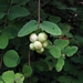 "<p><strong>Symphoricarpus mollis - Creeping Snowberry</strong></p><p><strong>Light: </strong><img src=""http://champoegnursery.com/wp-content/uploads/2014/09/icon_full_sun.gif""/> / <img src=""http://champoegnursery.com/wp-content/uploads/2014/09/icon_partial_shade.gif""/></p><p> <strong>Water: <img src=""http://champoegnursery.com/wp-content/uploads/2014/09/icon_dry.gif""/></p> <p> Max Height: </strong> 2 ft. <strong> Max Width: </strong> 2 ft. </p><p><strong>Description: </strong>This shrub has stems that trail along the ground and hairy twigs.  It produces smaller flowers and fruit than S. albus. <strong>Zone: </strong>  4-5</p><p><img src=""http://champoegnursery.com/wp-content/uploads/2014/09/icon_butterfly.gif""/>    <img src=""http://champoegnursery.com/wp-content/uploads/2014/09/icon_wildlife.gif""/></p>"