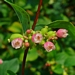 "<p><strong>Symphoricarpus albus - Common Snowberry</strong></p><p><strong>Light: </strong><img src=""http://champoegnursery.com/wp-content/uploads/2014/09/icon_full_sun.gif""/> / <img src=""http://champoegnursery.com/wp-content/uploads/2014/09/icon_partial_shade.gif""/></p><p> <strong>Water: <img src=""http://champoegnursery.com/wp-content/uploads/2014/09/icon_dry.gif""/> / <img src=""http://champoegnursery.com/wp-content/uploads/2014/09/icon_moist.gif""/></p> <p> Max Height: </strong> 5 ft. <strong> Max Width: </strong> 5 ft. </p><p><strong>Description: </strong>This deciduous shrub produces tiny pink to white flowers in the summer and white berries in the fall that last into the winter.  It tolerates dry to moist soils. <strong>Zone: </strong>  3-7</p><p><img src=""http://champoegnursery.com/wp-content/uploads/2014/09/icon_butterfly.gif""/>    <img src=""http://champoegnursery.com/wp-content/uploads/2014/09/icon_wildlife.gif""/></p>"