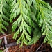 "<p><strong>Thuja plicata - Western Red Cedar</strong></p><p><strong>Light: </strong><img src=""http://champoegnursery.com/wp-content/uploads/2014/09/icon_full_shade.gif""/>/ <img src=""http://champoegnursery.com/wp-content/uploads/2014/09/icon_partial_shade.gif""/></p><p> <strong>Water: <img src=""http://champoegnursery.com/wp-content/uploads/2014/09/icon_moist.gif""/></p> <p> Max Height: </strong> 200 ft. <strong> Max Width: </strong> 50 ft. </p><p><strong>Description: </strong>This large evergreen tree has fragrant, scale-like foliage, not needles.  Its barks strips off in long pieces and its branches are gracefully drooping.  It prefers moist to wet soils and shady areas. <strong>Zone: </strong> 5</p><p>    <img src=""http://champoegnursery.com/wp-content/uploads/2014/09/icon_wildlife.gif""/></p>"