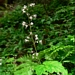 "<p><strong>Tiarella trifoliata - Foam flower</strong></p><p><strong>Light: </strong><img src=""http://champoegnursery.com/wp-content/uploads/2014/09/icon_full_shade.gif""/> / <img src=""http://champoegnursery.com/wp-content/uploads/2014/09/icon_partial_shade.gif""/></p><p> <strong>Water: <img src=""http://champoegnursery.com/wp-content/uploads/2014/09/icon_moist.gif""/></p> <p> Max Height: </strong> 24  in. <strong> Max Width: </strong> 12  in. </p><p><strong>Description: </strong>This perennial blooms with small white flowers on tall stalks in late spring. <strong>Zone: </strong>  7-9</p><p><img src=""http://champoegnursery.com/wp-content/uploads/2014/09/icon_butterfly.gif""/>    </p>"