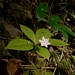 <p><strong>Tridentalis latifolia - Western Starflower</strong></p>