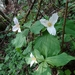 "<p><strong>Trillium ovatum - Western Trillium/Wake robin</strong></p><p><strong>Light: </strong><img src=""http://champoegnursery.com/wp-content/uploads/2014/09/icon_full_shade.gif""/> / <img src=""http://champoegnursery.com/wp-content/uploads/2014/09/icon_partial_shade.gif""/></p><p> <strong>Water: <img src=""http://champoegnursery.com/wp-content/uploads/2014/09/icon_wet.gif""/> / <img src=""http://champoegnursery.com/wp-content/uploads/2014/09/icon_moist.gif""/></p> <p> Max Height: </strong> 18  in. <strong> Max Width: </strong> 12  in. </p><p><strong>Description: </strong>This trillium produces stark white flowers. <strong>Zone: </strong>  7-9</p><p>    <img src=""http://champoegnursery.com/wp-content/uploads/2014/09/icon_wildlife.gif""/></p>"