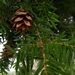 "<p><strong>Tsuga heteropylla - Western Hemlock</strong></p><p><strong>Light: </strong><img src=""http://champoegnursery.com/wp-content/uploads/2014/09/icon_full_sun.gif""/> / <img src=""http://champoegnursery.com/wp-content/uploads/2014/09/icon_partial_shade.gif""/></p><p> <strong>Water: <img src=""http://champoegnursery.com/wp-content/uploads/2014/09/icon_dry.gif""/> / <img src=""http://champoegnursery.com/wp-content/uploads/2014/09/icon_moist.gif""/></p> <p> Max Height: </strong> 200 ft. <strong> Max Width: </strong> 40 ft. </p><p><strong>Description: </strong>This large evergreen tree has small, flat, spray like needles.  It prefers moist soils and is very shade tolerant. <strong>Zone: </strong> 5</p><p>    <img src=""http://champoegnursery.com/wp-content/uploads/2014/09/icon_wildlife.gif""/></p>"