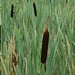 "<p><strong>Typha latifolia - Common Cattail</strong></p><p><strong>Light: </strong><img src=""http://champoegnursery.com/wp-content/uploads/2014/09/icon_full_sun.gif""/> / <img src=""http://champoegnursery.com/wp-content/uploads/2014/09/icon_partial_shade.gif""/></p><p> <strong>Water: <img src=""http://champoegnursery.com/wp-content/uploads/2014/09/icon_wet.gif""/> / <img src=""http://champoegnursery.com/wp-content/uploads/2014/09/icon_moist.gif""/></p> <p> Max Height: </strong> 6 ft. <strong> Max Width: </strong> 1 ft. </p><p><strong>Description: </strong>This herbaceous plant has erect leaves and stems and produces a flower that is a long brown cylinder at the end of the stem. <strong>Zone: </strong> 5</p><p>    <img src=""http://champoegnursery.com/wp-content/uploads/2014/09/icon_wildlife.gif""/></p>"