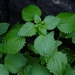 "<p><strong>Urtica dioica - Stinging Nettle</strong></p><p><strong>Light: </strong><img src=""http://champoegnursery.com/wp-content/uploads/2014/09/icon_full_sun.gif""/> / <img src=""http://champoegnursery.com/wp-content/uploads/2014/09/icon_partial_shade.gif""/></p><p> <strong>Water: <img src=""http://champoegnursery.com/wp-content/uploads/2014/09/icon_moist.gif""/></p> <p> Max Height: </strong> 8 ft. <strong> Max Width: </strong> 3 ft. </p><p><strong>Description: </strong>This perennial has narrowly pointed leaves and tiny greenish flowers in drooping clusters.  The hairs on the leaves and stem sting the skin when touched. <strong>Zone: </strong>  7-9</p><p><img src=""http://champoegnursery.com/wp-content/uploads/2014/09/icon_butterfly.gif""/>    <img src=""http://champoegnursery.com/wp-content/uploads/2014/09/icon_wildlife.gif""/></p>"