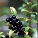 "<p><strong>Vaccinium ovatum - Evergreen Huckleberry</strong></p><p><strong>Light: </strong><img src=""http://champoegnursery.com/wp-content/uploads/2014/09/icon_full_sun.gif""/> / <img src=""http://champoegnursery.com/wp-content/uploads/2014/09/icon_partial_shade.gif""/> / <img src=""http://champoegnursery.com/wp-content/uploads/2014/09/icon_full_shade.gif""/>  </p><p> <strong>Water: <img src=""http://champoegnursery.com/wp-content/uploads/2014/09/icon_moist.gif""/></p> <p> Max Height: </strong> 8 ft. <strong> Max Width: </strong> 5 ft. </p><p><strong>Description: </strong>This evergreen shrub has serrated, small, shiny, dark green leaves and produces pink flowers and purplish-black berries. <strong>Zone: </strong>  7-9</p><p><img src=""http://champoegnursery.com/wp-content/uploads/2014/09/icon_butterfly.gif""/>    <img src=""http://champoegnursery.com/wp-content/uploads/2014/09/icon_wildlife.gif""/></p>"