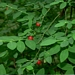 "<p><strong>Vaccinium parvifolium - Red Huckleberry</strong></p><p><strong>Light: </strong><img src=""http://champoegnursery.com/wp-content/uploads/2014/09/icon_full_sun.gif""/> / <img src=""http://champoegnursery.com/wp-content/uploads/2014/09/icon_partial_shade.gif""/> / <img src=""http://champoegnursery.com/wp-content/uploads/2014/09/icon_full_shade.gif""/>  </p><p> <strong>Water: <img src=""http://champoegnursery.com/wp-content/uploads/2014/09/icon_moist.gif""/></p> <p> Max Height: </strong> 8 ft. <strong> Max Width: </strong> 5 ft. </p><p><strong>Description: </strong>This shrub has small, oval, light green leaves and produces pink to greenish-yellow flowers and red berries. <strong>Zone: </strong>  7-9</p><p><img src=""http://champoegnursery.com/wp-content/uploads/2014/09/icon_butterfly.gif""/>    <img src=""http://champoegnursery.com/wp-content/uploads/2014/09/icon_wildlife.gif""/></p>"