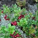 "<p><strong>Vaccinium vitis-idaea - Lingon-berry</strong></p><p><strong>Light: </strong><img src=""http://champoegnursery.com/wp-content/uploads/2014/09/icon_full_sun.gif""/> / <img src=""http://champoegnursery.com/wp-content/uploads/2014/09/icon_partial_shade.gif""/></p><p> <strong>Water: <img src=""http://champoegnursery.com/wp-content/uploads/2014/09/icon_moist.gif""/></p> <p> Max Height: </strong> 4  in. <strong> Max Width: </strong> 1 ft. </p><p><strong>Description: </strong>This evergreen ground cover has small dark green glossy leaves and produces pink flowers and then red-orange berries. <strong>Zone: </strong>  7-9</p><p><img src=""http://champoegnursery.com/wp-content/uploads/2014/09/icon_butterfly.gif""/>    <img src=""http://champoegnursery.com/wp-content/uploads/2014/09/icon_wildlife.gif""/></p>"