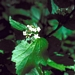 "<p><strong>Viburnum edule - High-Bush Cranberry</strong></p><p><strong>Light: </strong><img src=""http://champoegnursery.com/wp-content/uploads/2014/09/icon_full_sun.gif""/> / <img src=""http://champoegnursery.com/wp-content/uploads/2014/09/icon_partial_shade.gif""/></p><p> <strong>Water: <img src=""http://champoegnursery.com/wp-content/uploads/2014/09/icon_moist.gif""/></p> <p> Max Height: </strong> 9 ft. <strong> Max Width: </strong> 6 ft. </p><p><strong>Description: </strong>A tall deciduous shrub, with white flowers in summer, clusters of red berries eaten by birds and wildlife, and red leaves in fall. Berries often persist in to winter. <strong>Zone: </strong>  3-9</p><p><img src=""http://champoegnursery.com/wp-content/uploads/2014/09/icon_butterfly.gif""/>    <img src=""http://champoegnursery.com/wp-content/uploads/2014/09/icon_wildlife.gif""/></p>"