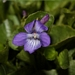 "<p><strong>Viola adunca - Early Blue Violet</strong></p><p><strong>Light: </strong><img src=""http://champoegnursery.com/wp-content/uploads/2014/09/icon_full_sun.gif""/> / <img src=""http://champoegnursery.com/wp-content/uploads/2014/09/icon_partial_shade.gif""/> / <img src=""http://champoegnursery.com/wp-content/uploads/2014/09/icon_full_shade.gif""/>  </p><p> <strong>Water: <img src=""http://champoegnursery.com/wp-content/uploads/2014/09/icon_moist.gif""/></p> <p> Max Height: </strong> 6  in. <strong> Max Width: </strong> 18  in. </p><p><strong>Description: </strong>This violet produces light blue to purple flowers and blooms March to June. <strong>Zone: </strong>  7-9</p><p><img src=""http://champoegnursery.com/wp-content/uploads/2014/09/icon_butterfly.gif""/>    <img src=""http://champoegnursery.com/wp-content/uploads/2014/09/icon_wildlife.gif""/></p>"