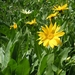 "<p><strong>Wyethia amplexicaulis - Mules Ears</strong></p><p><strong>Light: </strong><img src=""http://champoegnursery.com/wp-content/uploads/2014/09/icon_full_sun.gif""/>  </p><p> <strong>Water: <img src=""http://champoegnursery.com/wp-content/uploads/2014/09/icon_dry.gif""/> / <img src=""http://champoegnursery.com/wp-content/uploads/2014/09/icon_moist.gif""/></p> <p> Max Height: </strong> 32 in. <strong> Max Width: </strong> 6 in. </p><p><strong>Description: </strong>A short perennial which looks like a sunflower, blooms from May to July, spreads easily in meadows and open forests. Drought tolerant. <strong>Zone: </strong>  4-8</p><p><img src=""http://champoegnursery.com/wp-content/uploads/2014/09/icon_butterfly.gif""/>    <img src=""http://champoegnursery.com/wp-content/uploads/2014/09/icon_wildlife.gif""/></p>"