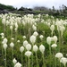 "<p><strong>Xerophyllum tenax - Bear  Grass</strong></p><p><strong>Light: </strong><img src=""http://champoegnursery.com/wp-content/uploads/2014/09/icon_full_sun.gif""/>  </p><p> <strong>Water: <img src=""http://champoegnursery.com/wp-content/uploads/2014/09/icon_moist.gif""/></p> <p> Max Height: </strong> 3 ft. <strong> Max Width: </strong> 3 ft. </p><p><strong>Description: </strong>Perennial herbaceous plant growing from stout rhizomes.  It has grass like leaves and clusters of small white flowers that form a pyramidal cluster at the terminal end of the flowering stalks. <strong>Zone: </strong>  7-9</p><p><img src=""http://champoegnursery.com/wp-content/uploads/2014/09/icon_butterfly.gif""/>    <img src=""http://champoegnursery.com/wp-content/uploads/2014/09/icon_wildlife.gif""/></p>"